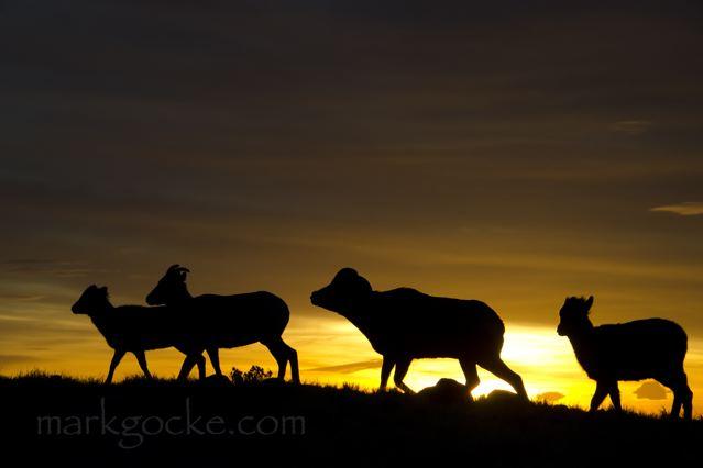 Bighorn sheep.