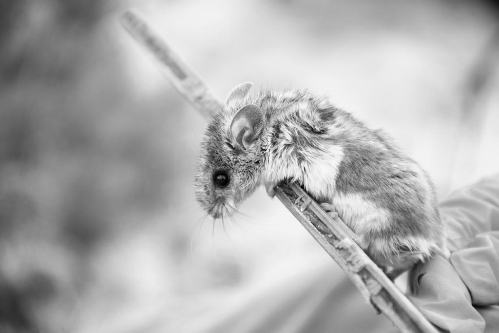 Deer mouse, Thunder Basin National Grassland (photo: Tiff Shao)