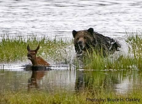 Bear Elk