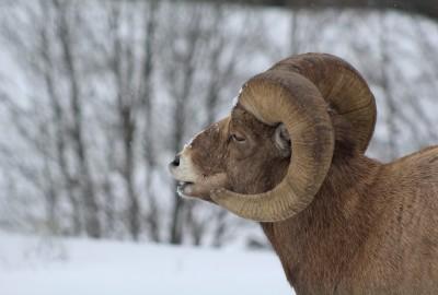Bighorn sheep ram in Cody, Wyoming.