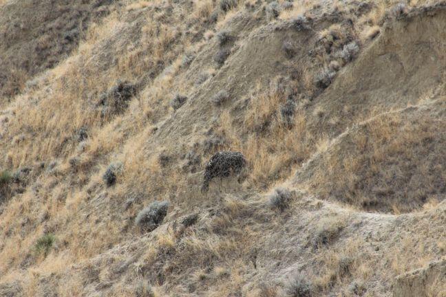 Ferruginous Hawk nest, located atop a rock spire in a small ravine, Powder River Basin, WY.