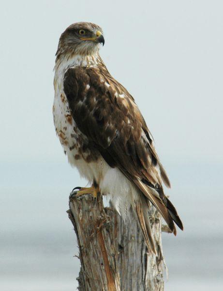 Ferruginous Hawk on perch. Photo courtesy of blm.gov