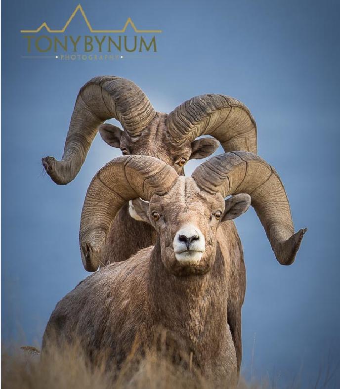 Two bighorn sheep rams