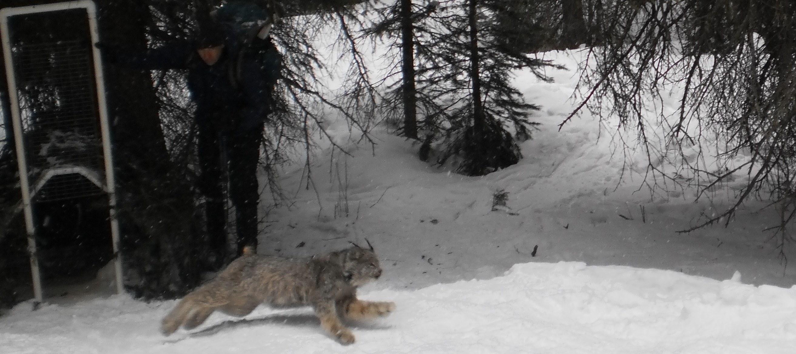 Canada lynx, near Silverton, CO