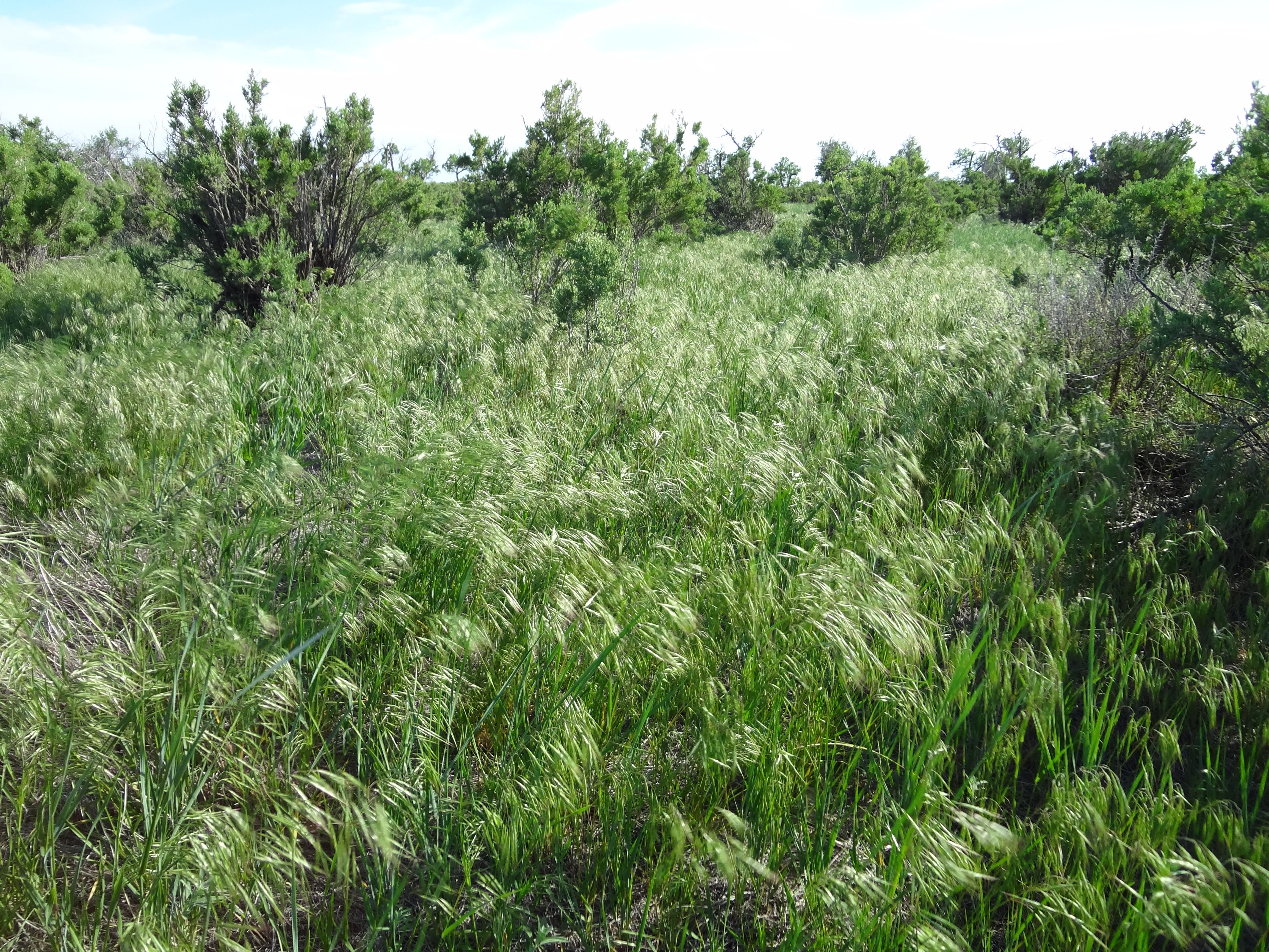 Dense cheatgrass, Thunder Basin National Grassland, WY