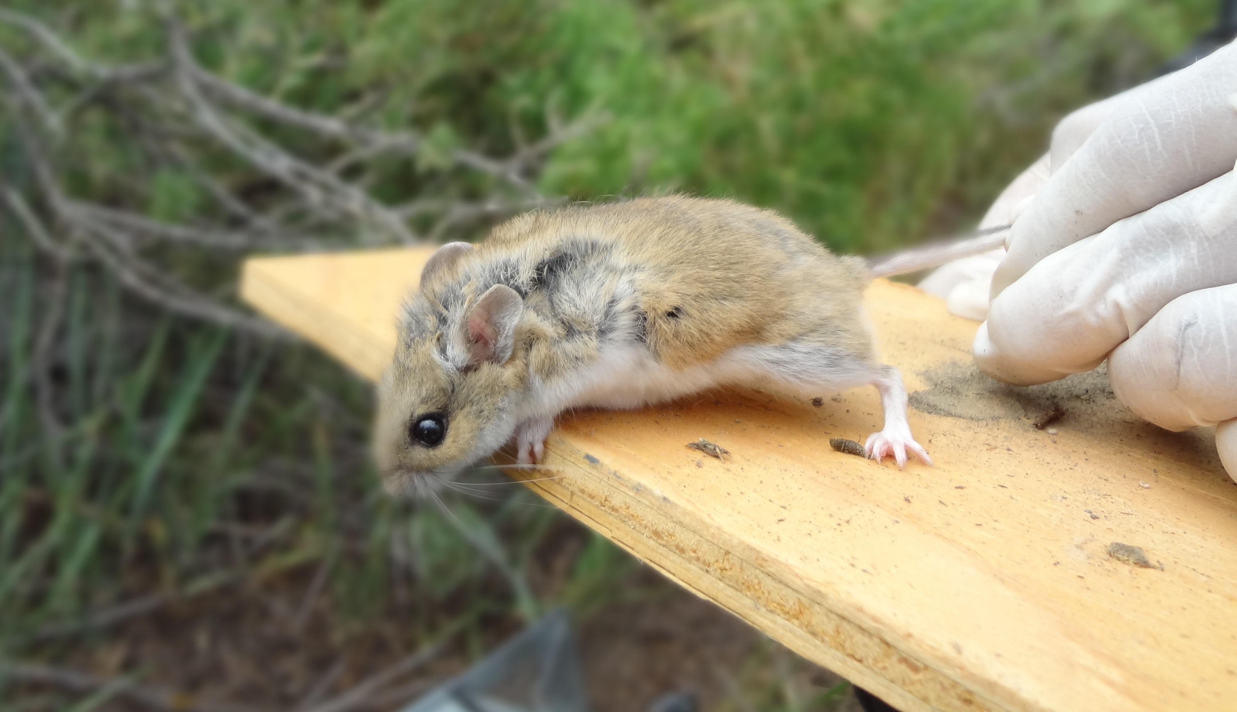 Northern grasshopper mouse, Thunder Basin National Grassland, WY