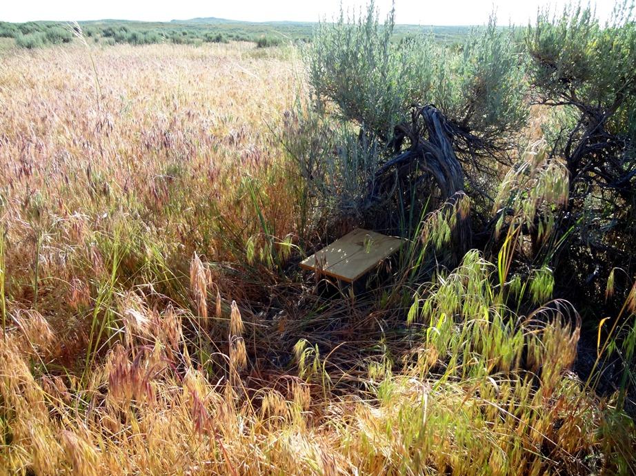 Small mammal trap at high cheatgrass site, Thunder Basin National Grassland, WY