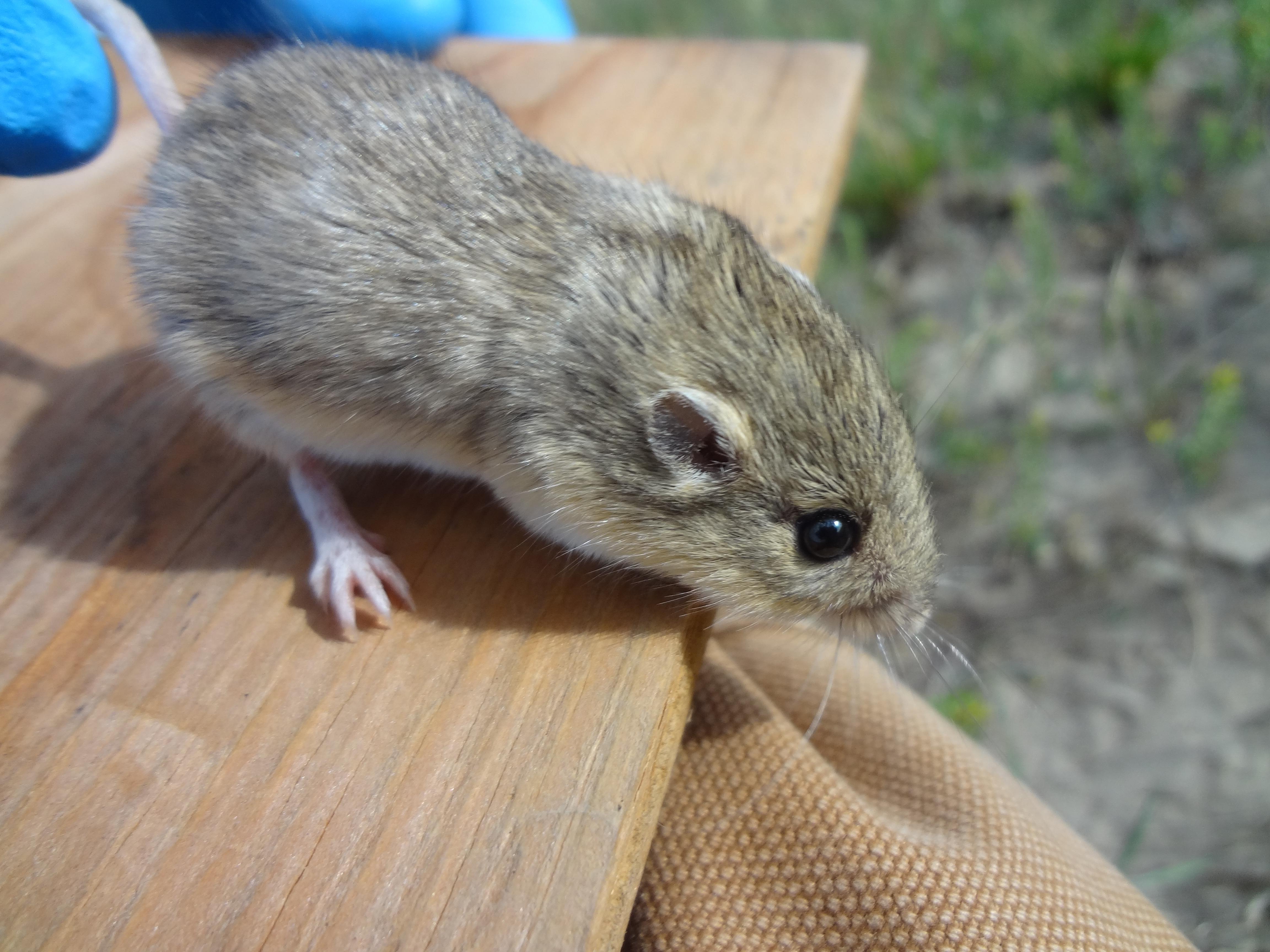 Pocket mouse, Thunder Basin National Grassland, WY