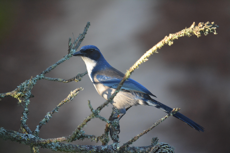 Island Scrub-Jay, bishop pines, Santa Cruz Island