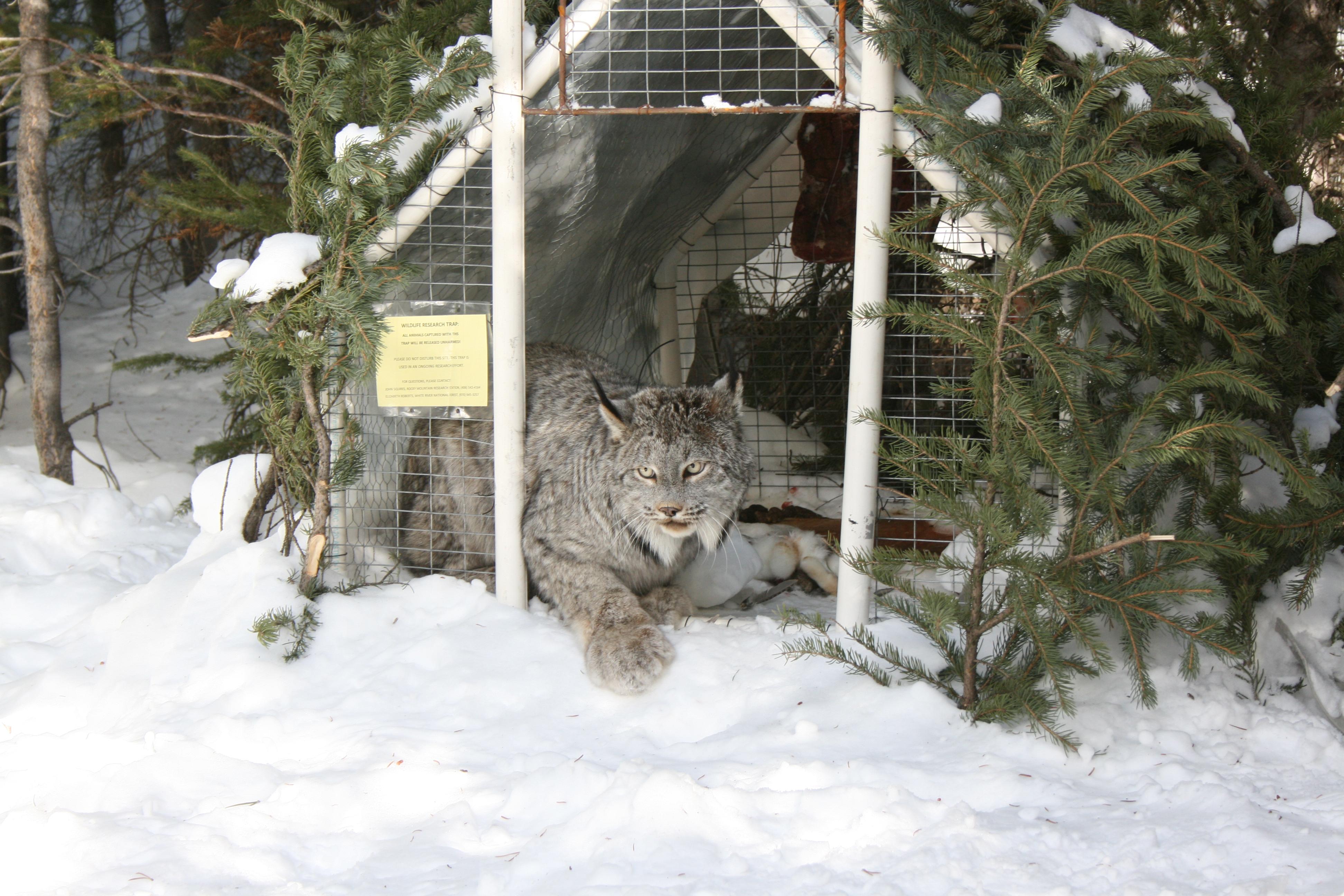 Canada lynx near Breckenridge, CO