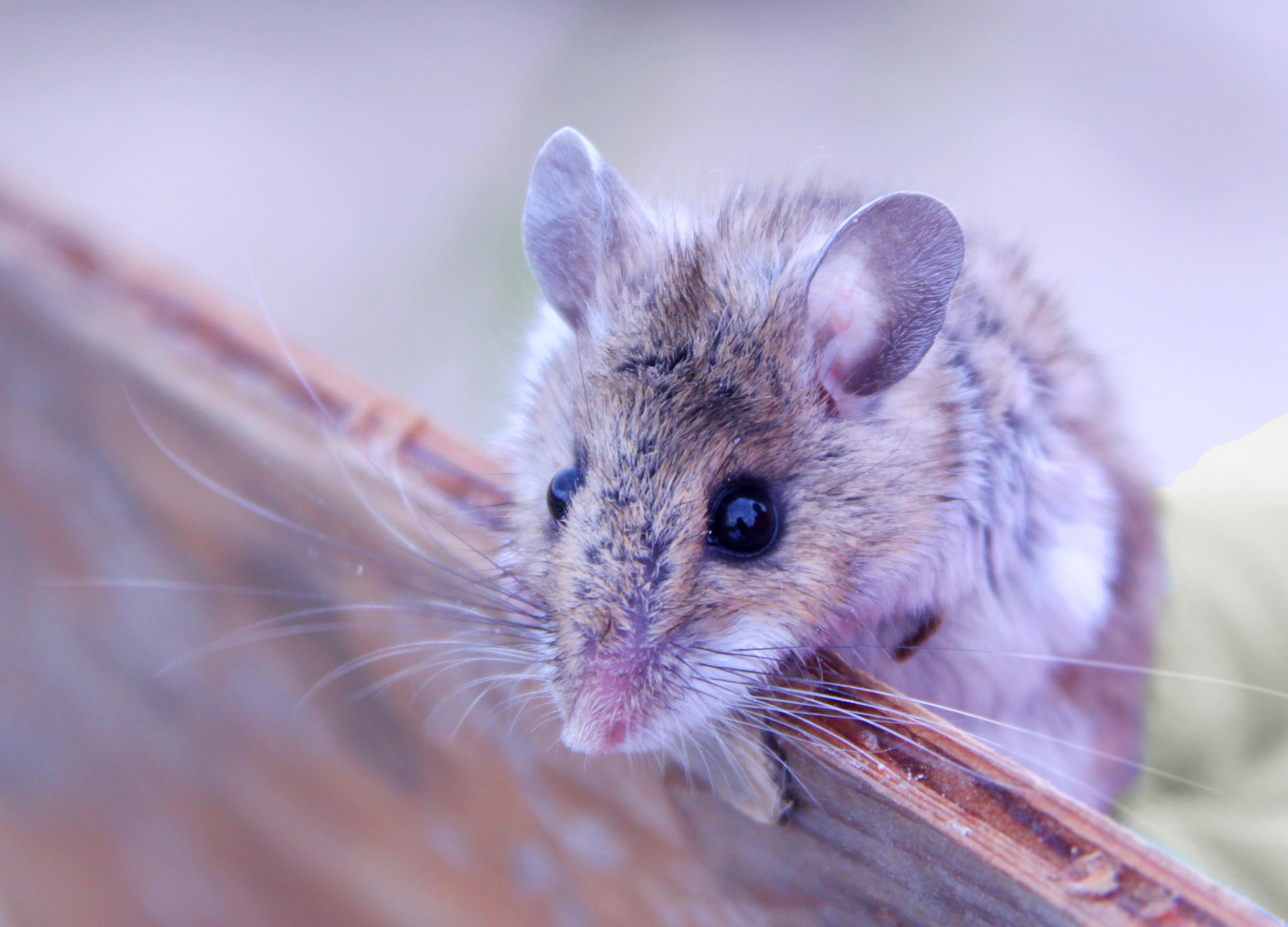 Deer mouse, Thunder Basin National Grassland, WY (photo: Tiff Shao)