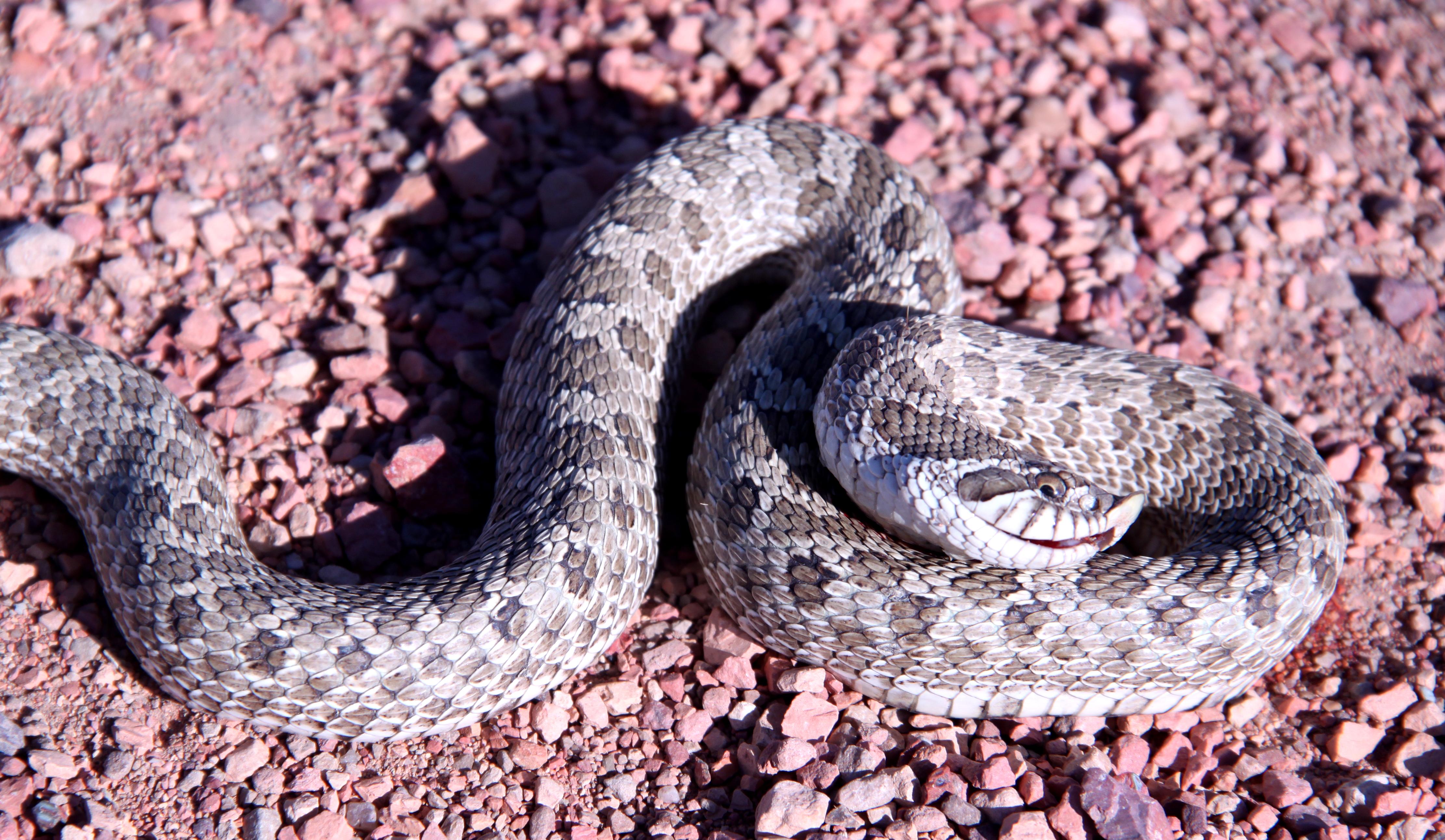 Western hognose snake, Thunder Basin National Grassland