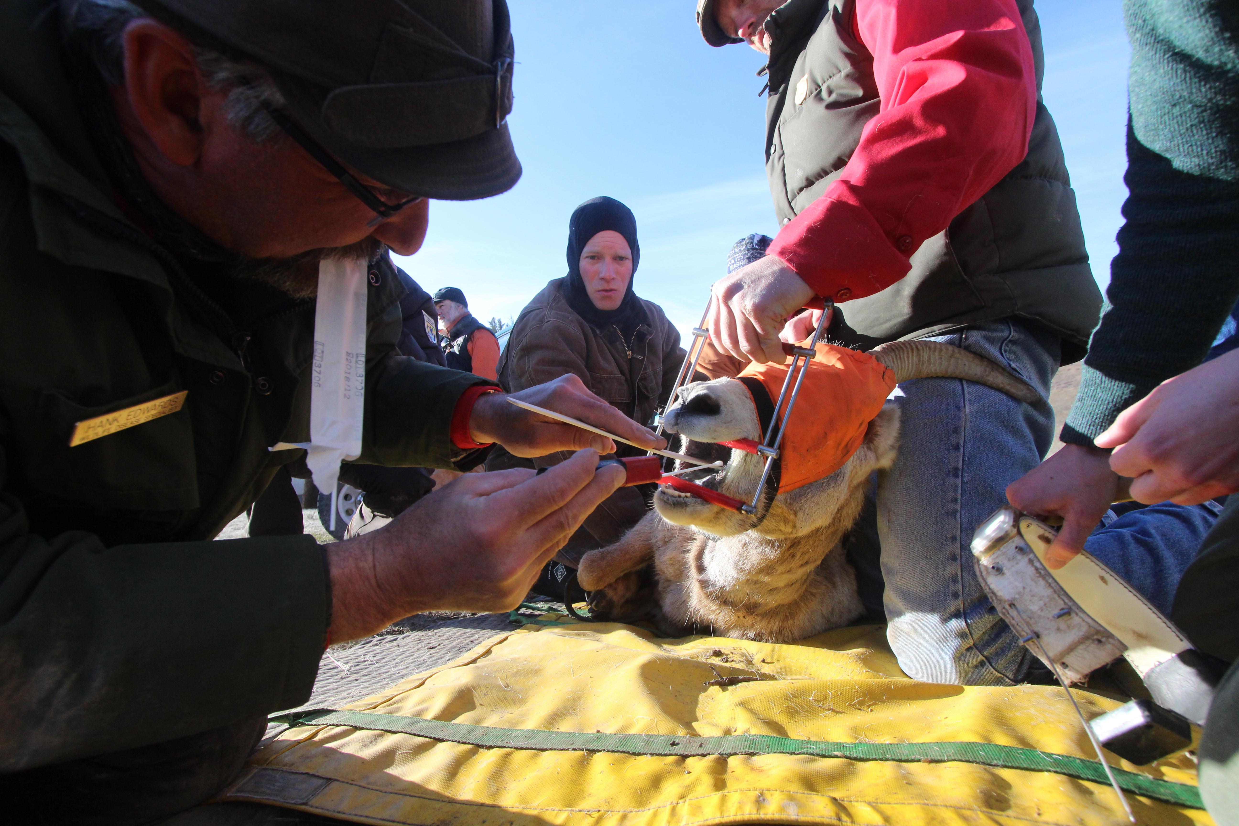 Hank Edwards disease sampling a bighorn sheep ewe.
