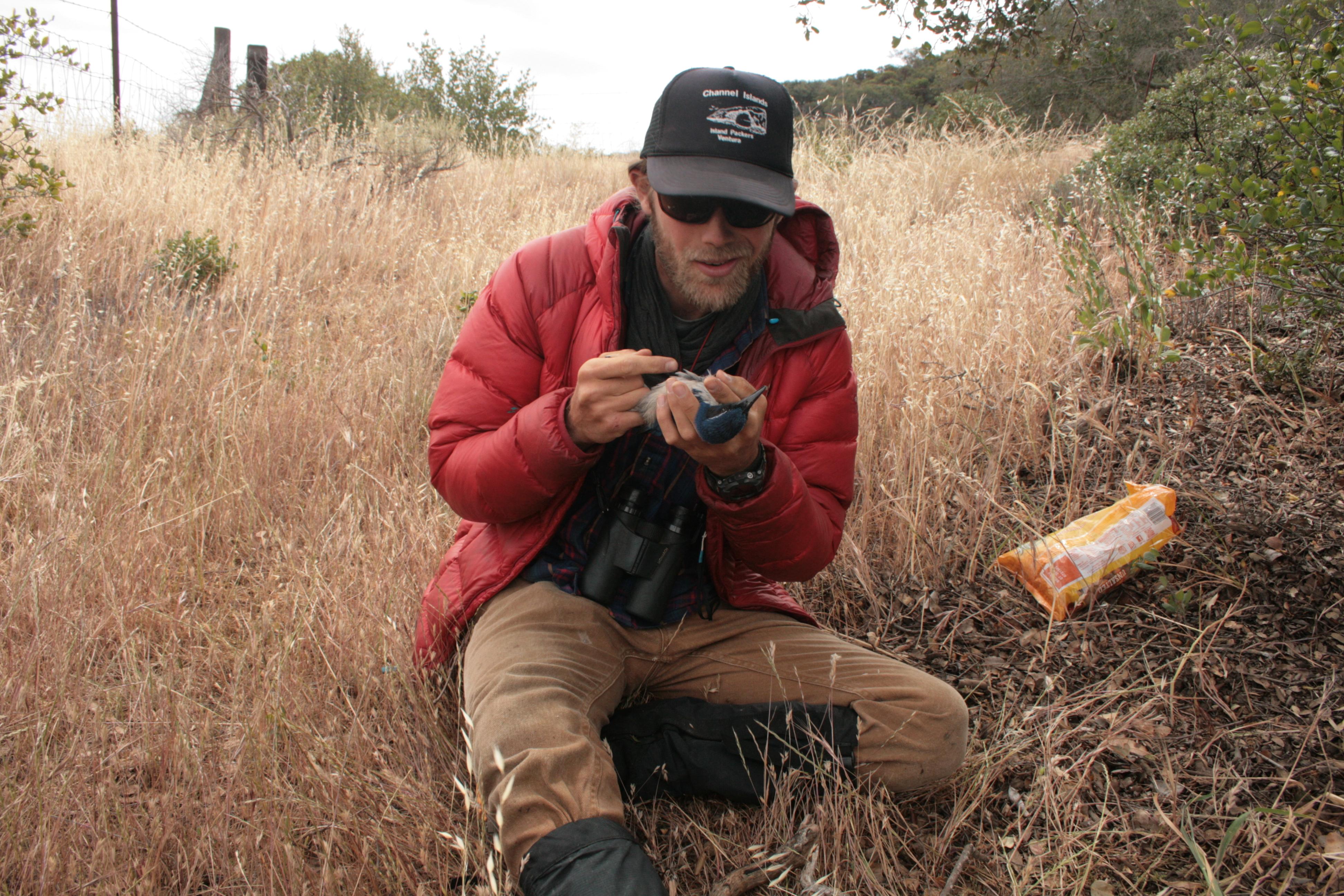 Michael Hague processing an Island Scrub-Jay