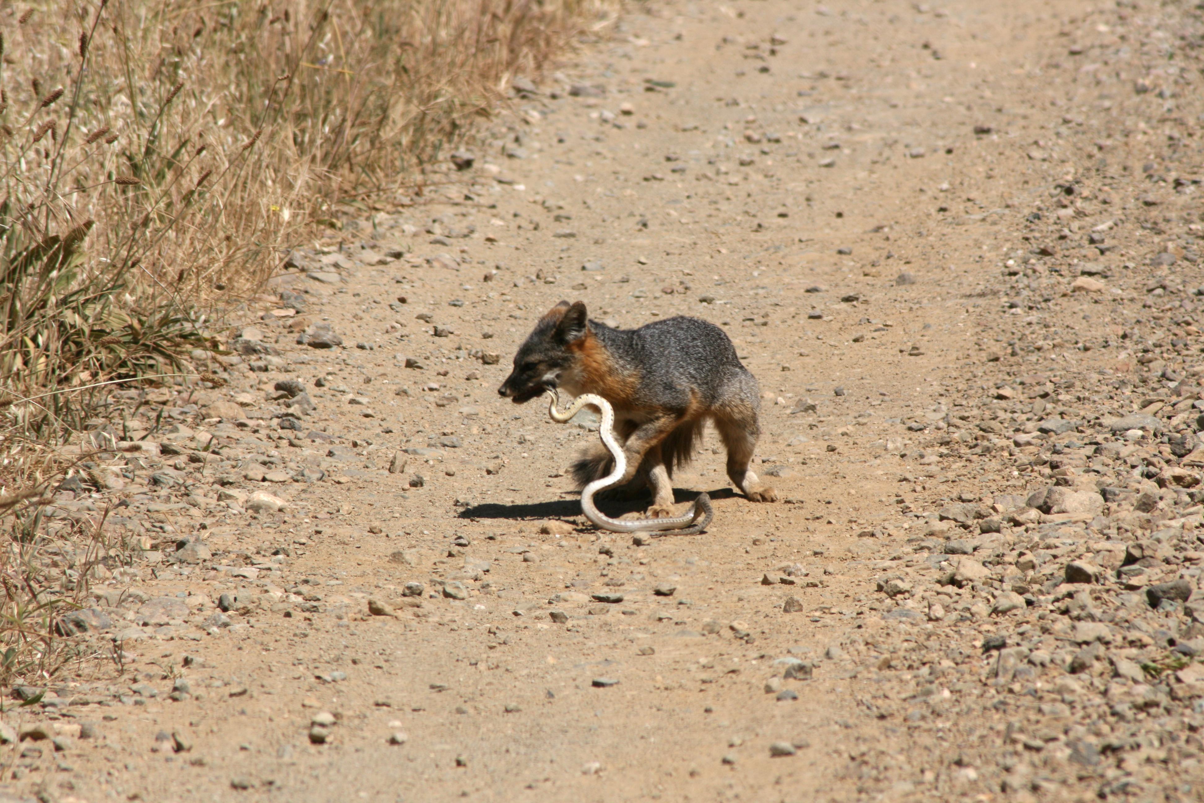 Island Fox eating Gopher Snake