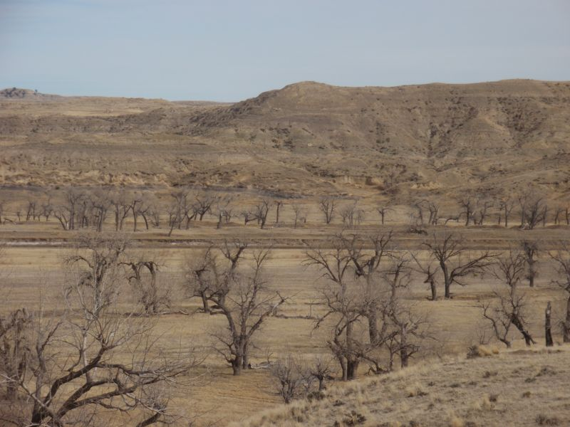 Floodplain on the main fork of the Powder River. These old cottonwood trees are ideal nesting habitat for many local raptor species, including Red-tailed Hawks and Swainson