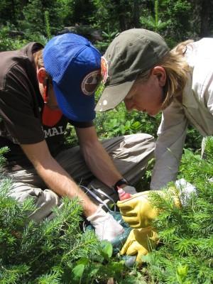 Mountain Pine Beetle Epidemic Impacts on Wildlife