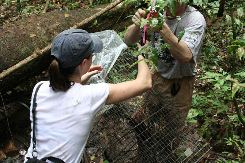 Weighing an ocelot on Barro Colorado Island in Panama