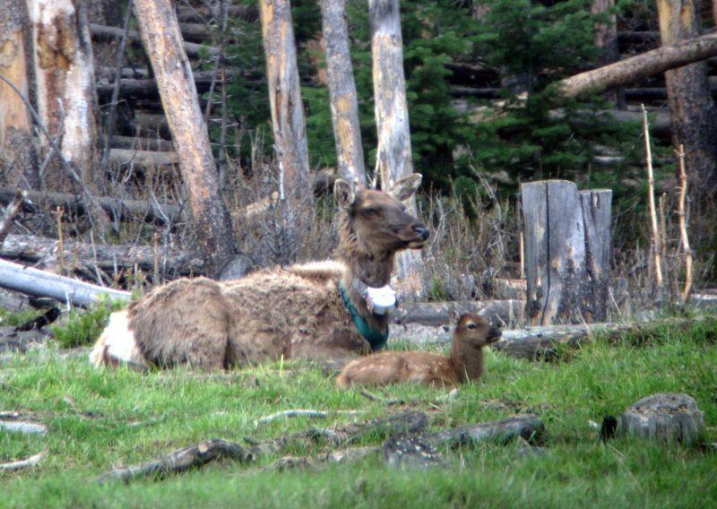 Elk Nutritional Condition