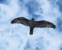 Ferruginous Hawk in flight, Idaho. Photo courtesy of blm.gov