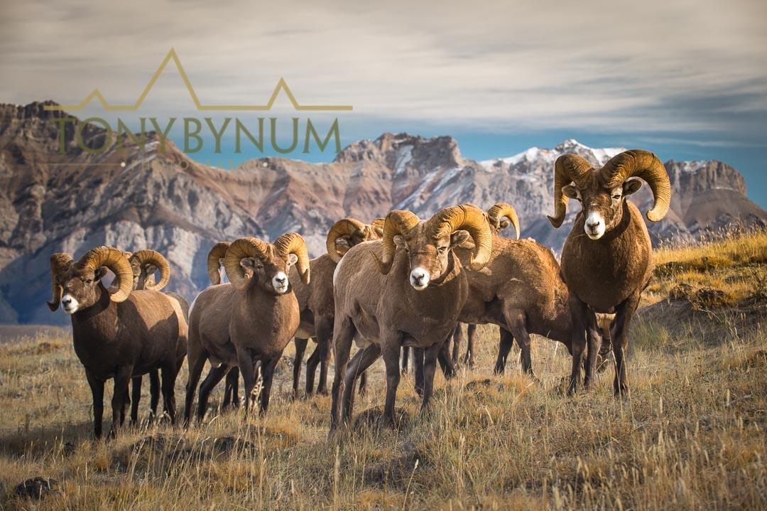 Bighorn sheep rams.