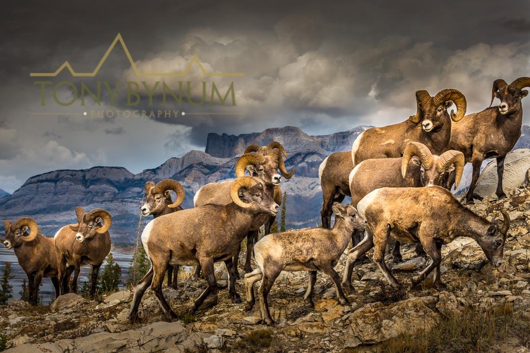 Bighorn sheep rams