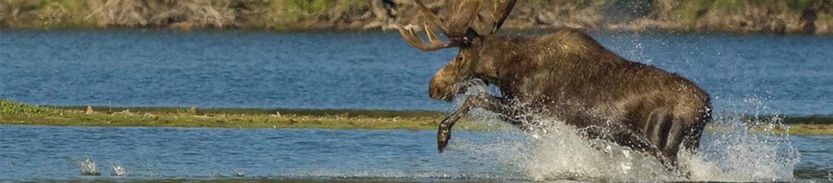 moose@2x