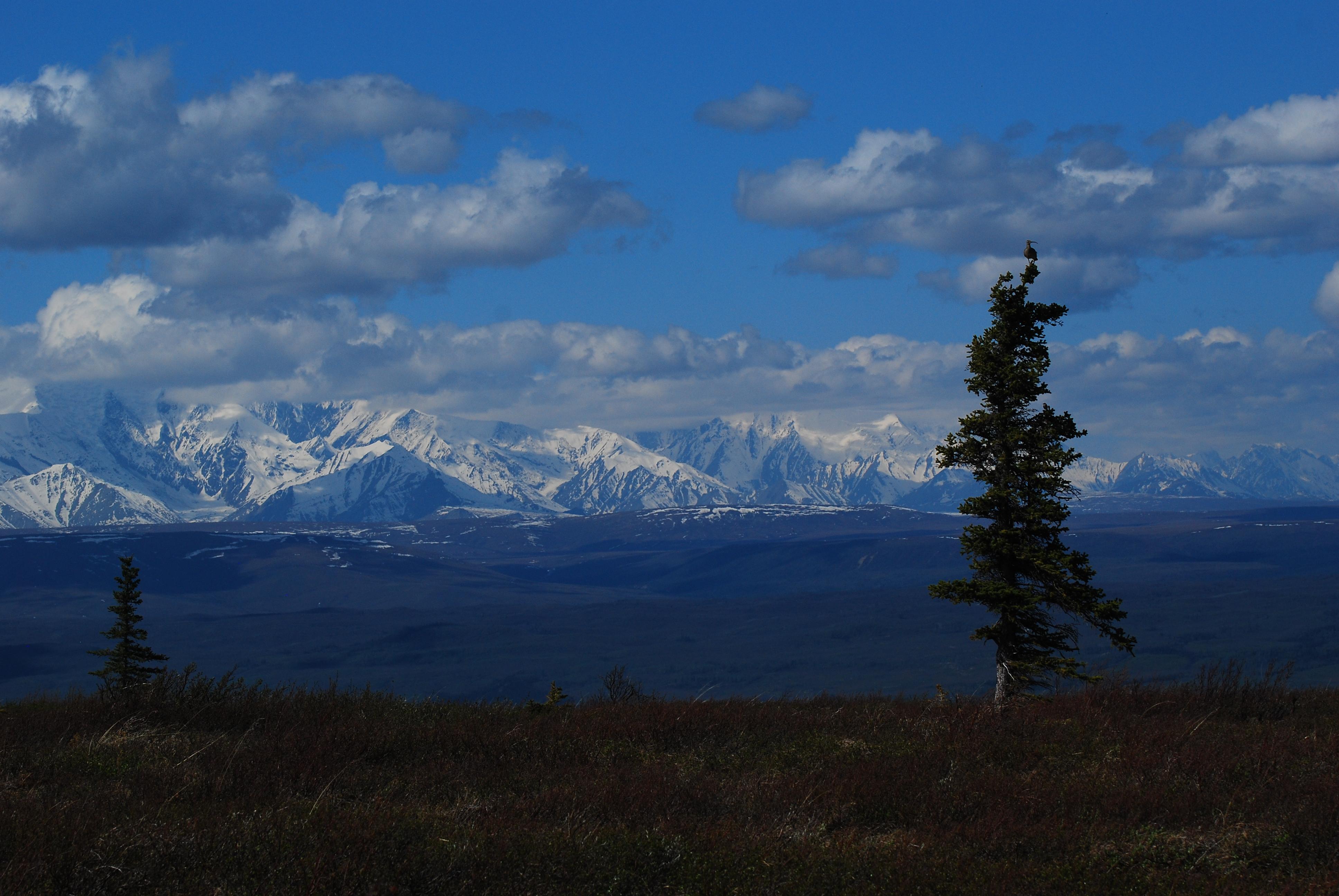 Whimbrel surveys, interior alaska (photo: Jeff Dacey).